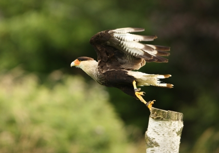 Close up of a Caracara taking off on a tree stump Stock Photo - 14511830