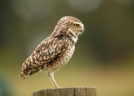 Close up of a Burrowing Owl Stock Photo - 14511836