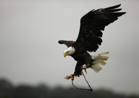 halcones: Un �guila calva en vuelo Foto de archivo