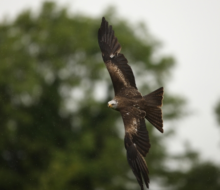 Close up of a Black Kite in flight in the rain Stock Photo - 14511828