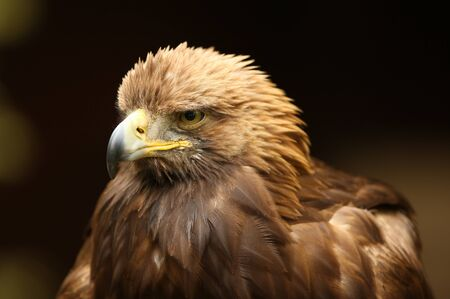 Portrait of a Golden Eagle Stock Photo - 14511839