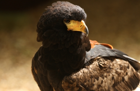 Portrait of a Harris Hawk Stock Photo - 14511820