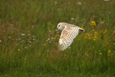 wise owl: Close up of a Barn Owl flying over a wild flower meadow in rain