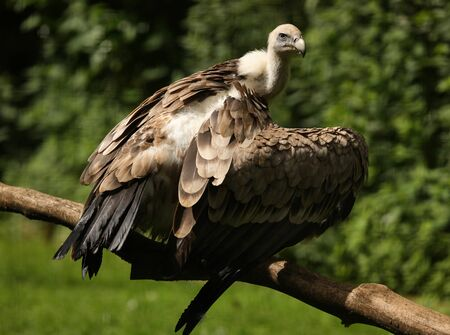 Portrait of a Griffon Vulture  Stock Photo - 14511849
