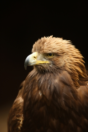 Portrait of a Golden Eagle Stock Photo - 14511858