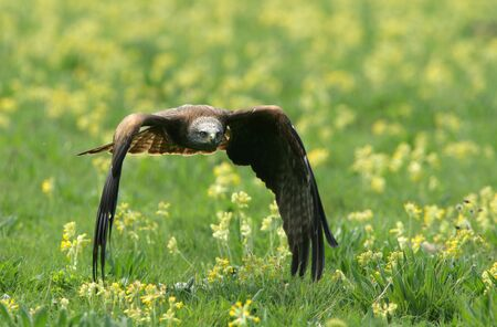 A Black Kite flying over a wild flower meadow photo