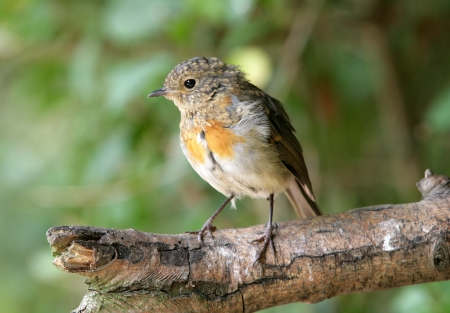 Portrait of a young Robin Stock Photo