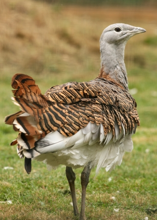 Portrait of a Great Bustard