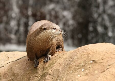 Portrait of a Oriental Short-Clawed Otter Stock Photo - 14606395
