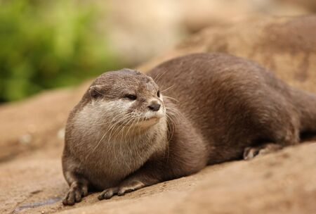 Portrait of a Oriental Short-Clawed Otter Stock Photo - 14606397
