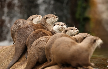 A group of Oriental Short-Clawed Otters