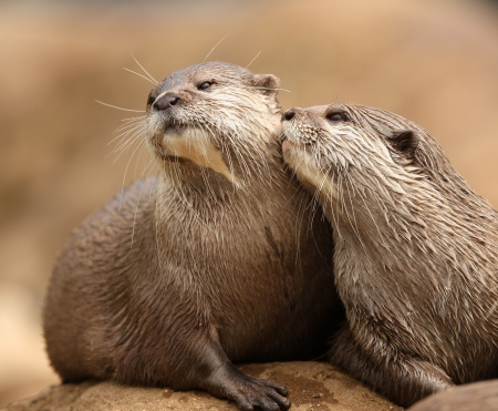 Oriental Short-Clawed Otters cuddling Stock Photo