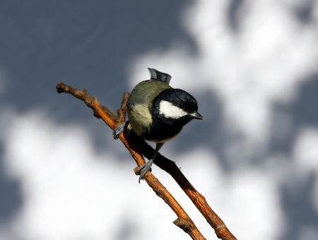 Close up of a Great Tit Stock Photo - 15381883