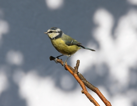Portrait of a Blue Tit Stock Photo - 15381895
