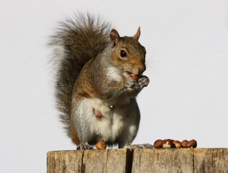 Portrait of a Grey Squirrel eating hazelnuts on a log Stock Photo - 15381916