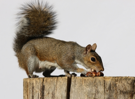 Portrait of a Grey Squirrel eating hazelnuts on a log Stock Photo - 15381917