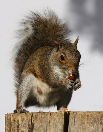 Portrait of a Grey Squirrel eating hazelnuts on a log Stock Photo - 15381830