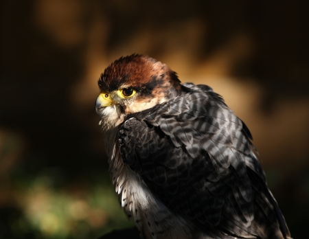 lanner: Portrait of a Lanner Falcon in shady sunlight Stock Photo