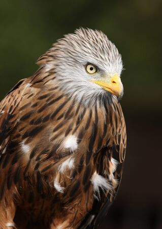Portrait of a Red Kite Stock Photo - 15721326