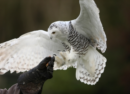 frosty: Close up of a Snowy Owl in flight Stock Photo