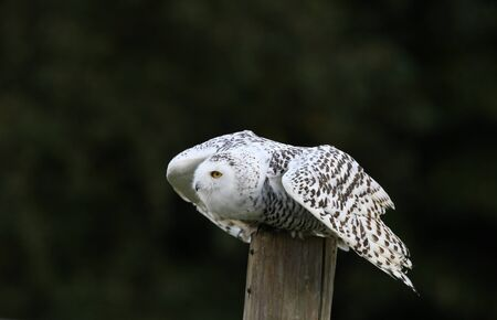 Close up of a Snowy Owl about to fly Stock Photo - 15721311