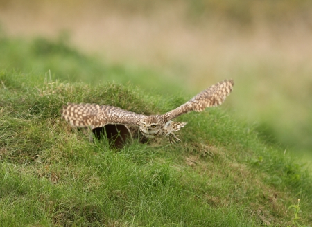 Close up of a Burrowing Owl in flight Stock Photo - 15721317