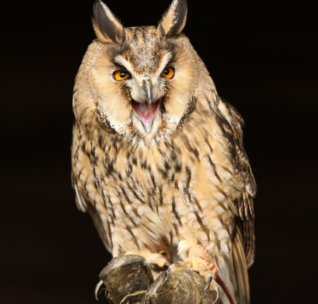 Portrait of a Long Eared Owl screeching Stock Photo - 15721320