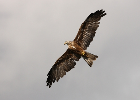 Close up of a Red Kite in Flight Stock Photo - 15721316