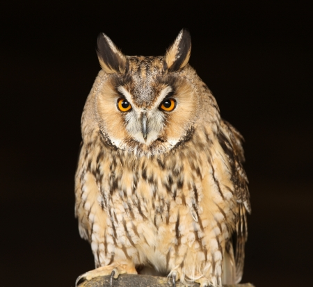 Portrait of a Long Eared Owl Stock Photo - 15721319