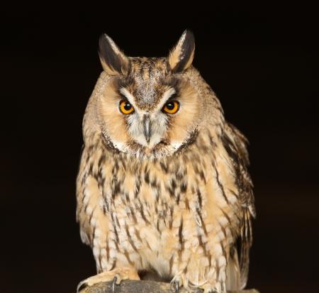 Portrait of a Long Eared Owl Stock Photo - 15721319
