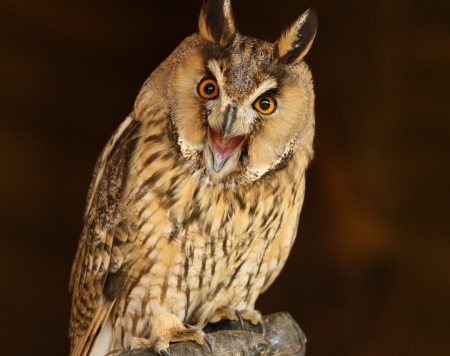Portrait of a Long Eared Owl screeching Stock Photo - 15721323