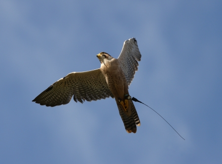Close up of a Peregrine Falcon in flight Stock Photo - 15721314