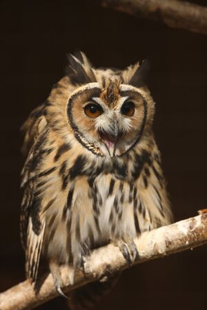 Portrait of a Mexican Striped Owl screeching
