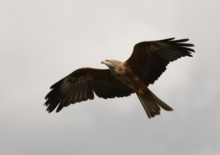 Close up of a Red Kite in Flight Stock Photo - 15721313