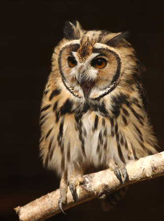 Portrait of a Mexican Striped Owl screeching Stock Photo - 15721324