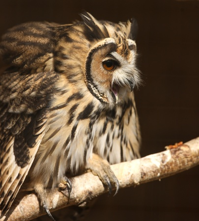Portrait of a Mexican Striped Owl screeching Stock Photo - 15721322
