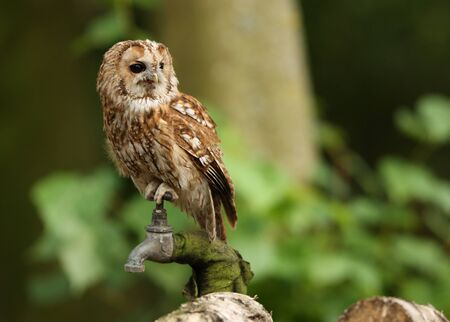 Portrait of a Tawny Owl in woodland Stock Photo - 15721328