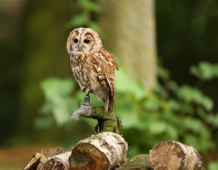 Portrait of a Tawny Owl in woodland photo