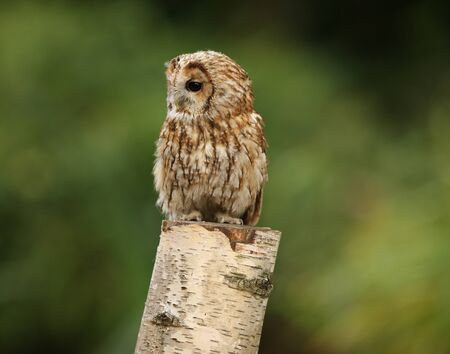 Portrait of a Tawny Owl in woodland Stock Photo - 15721332