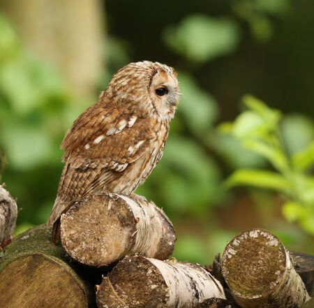 Portrait of a Tawny Owl in woodland Stock Photo - 15721330