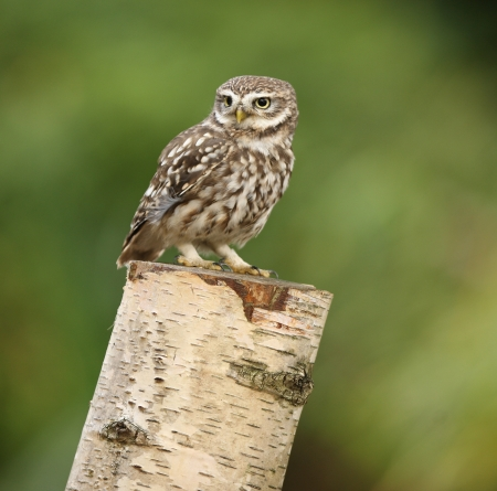Portrait of a Little Owl on a tree stump