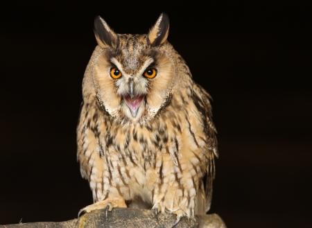 eared: Portrait of a Long Eared Owl screeching Stock Photo