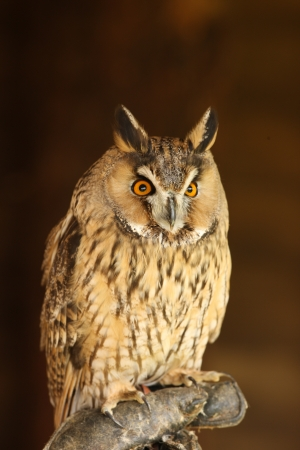 Portrait of a Long Eared Owl Stock Photo - 15775618