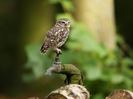 athene: Portrait of a Little Owl in woodland Stock Photo