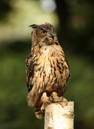 Portrait of an Eagle Owl on a tree stump Stock Photo - 15775621
