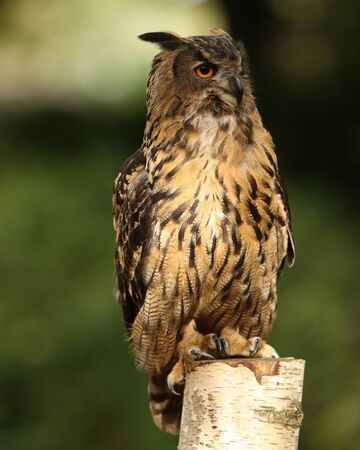 Portrait of an Eagle Owl on a tree stump Stock Photo - 15775601