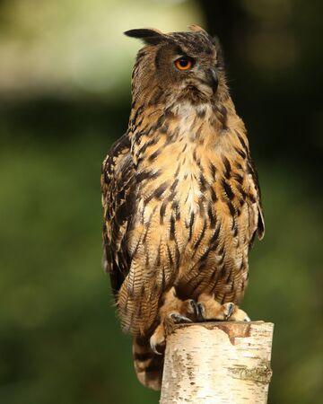 Portrait of an Eagle Owl on a tree stump Stock Photo - 15775601