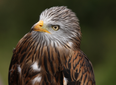 Portrait of a Red Kite Stock Photo - 15775623