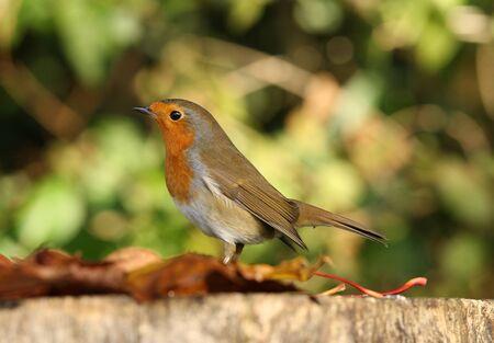 Portrait of a Robin in Autumn Stock Photo - 16621381