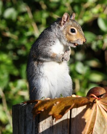 Portrait of a Grey Squirrel eating peanuts in Autumn photo